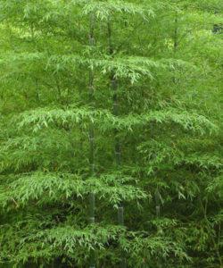 """Il Phyllostachys edulis, o pubescens, comunemente detto """"moso"""", è una graminacea, e quindi a tutti gli effetti è una pianta erbacea"""