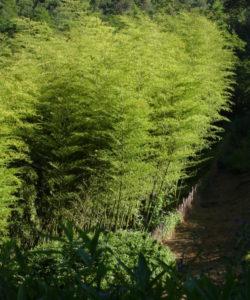 Le canne del Phyllostachys edulis possono raggiungere i 25-30 metri di altezza, ma solitamente crescono intorno ai 15-20 metri