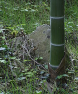 I germogli del bamboo gigante hanno il diametro della canna che stanno per generare: ecco perchè si raccolgono germogli di Phyllostachys edulis così grossi