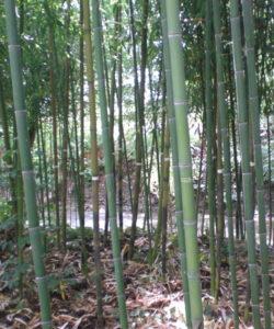 Le canne più giovani di un bambuseto maturo e vigoroso raggiungono facilmente i 12-13 cm, fino ad un massimo di 15-18 cm, di diametro alla base.