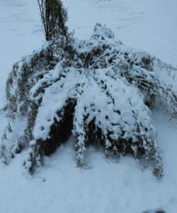 La resistenza e la elasticità delle canne di bambu nascono per poter sopportare forti flessioni, e anche le canne più grosse, in caso di neve, sono in grado di ritornare rapidamente alla posizione eretta senza danni