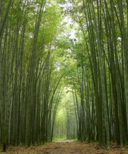 Il Phyllostachys edulis è un bambù gigante sempreverde.
