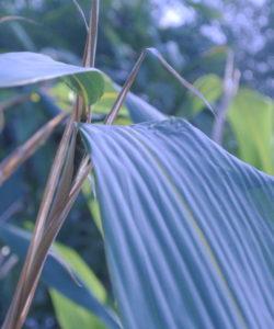 La capacità di immagazzinare CO2 di un bambuseto in fase produttiva di Phyllostachys edulis è analoga o superiore a quella di un bosco di alberi di pari superficie.