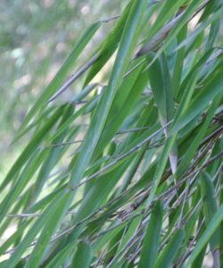 L'uso a fini energetici del Phyllostachys edulis offre interessanti opportunità per la produzione di biomassa a fini energetici, la produzione di pellet per la combustione e la trasformazione in carbone