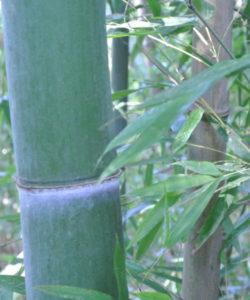 Il Phyllostachys edulis ha limitate esigenze d'impiego di pesticidi e fertilizzanti: si adatta facilmente alla coltivazione biologica.